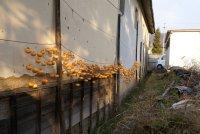信州味噌醸造元塩屋の干柿